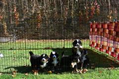 bernsky-salasnicky-pes-vrhc-pred-odchodemi-3